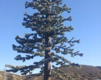 62-ft-Pine-Tree-Monopole-Monopine-1